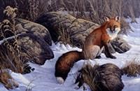 Mid Winter Pause - Red Fox Fine Art Print