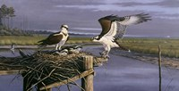 Chesapeake Treasurers - Osprey Fine Art Print