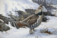 Ruffed Grouse Fine Art Print