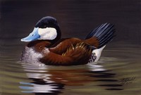 Ruddy Duck Fine Art Print