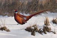 Winter Walk Pheasant Framed Print
