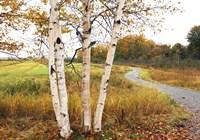 Birches Fine Art Print