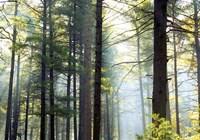 Shrouded Forest II Fine Art Print