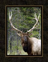 Large Elk Fine Art Print