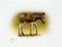 Zebra Colt Fine Art Print
