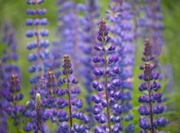 Blue Lupine Flowers Fine Art Print