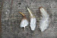 Three Feathers on Wood Fine Art Print