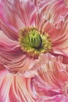 Cerise Pink Poppy Fine Art Print