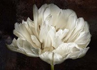Double White Tulip Fine Art Print