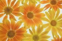 Orange Daisies Fine Art Print