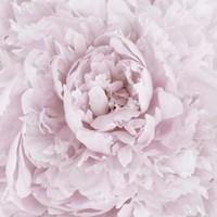 Pink Peony Flower Fine Art Print