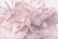 Pink Peony Petals II Fine Art Print