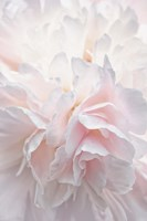 Pink Peony Petals IV Fine Art Print
