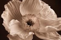 Sepia Poppy I Fine Art Print