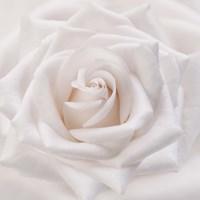 Soft White Rose Fine Art Print