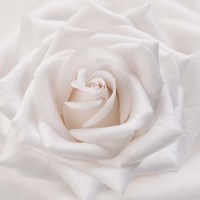 Soft White Rose Framed Print