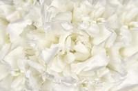 White Peony Flower Fine Art Print