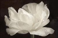 White Tulip III Fine Art Print