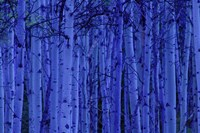 Blue Birches Fine Art Print