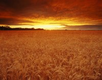 Golden Wheatfields Fine Art Print