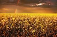 Rainbow Over Golden Flowers Fine Art Print