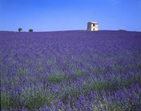 Lavendar Fields Fine Art Print