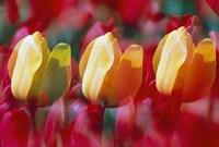 Three Tulips Fine Art Print