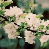 Apple Blossoms I Fine Art Print