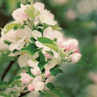 Apple Blossoms II Fine Art Print