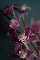 Dark Orchid IV Fine Art Print