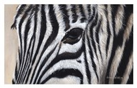 Zebra Eyes Fine Art Print