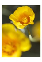 California Poppy I Fine Art Print