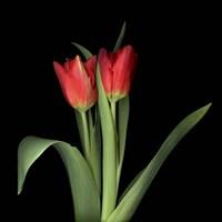 Duet - Tulips Fine Art Print