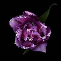 Fringed Pink Tulip Fine Art Print