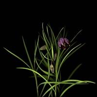 Fritillaria Fine Art Print