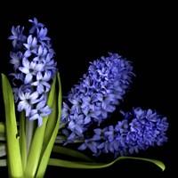 Hyacinth 3 Fine Art Print