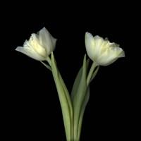 Off-White Tulips Fine Art Print
