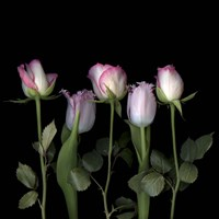 Pink Edged Tulips Fine Art Print
