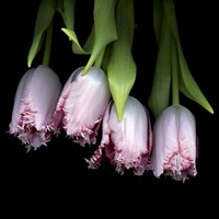 Pink Tulips 5 Fine Art Print