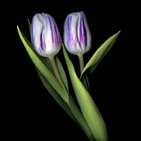 Purple And White Tulips Fine Art Print