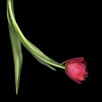 Red Tulip 1 Fine Art Print