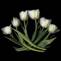White Tulips Fine Art Print