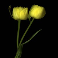 Yellow Tulips 2 Fine Art Print