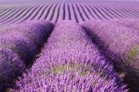 Rolling Hills of Purple Fine Art Print