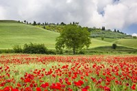 Tuscan Poppies Fine Art Print