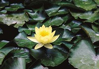 Water Lilly Fine Art Print