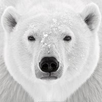 Polar Bear Fine Art Print