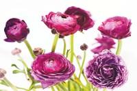 Spring Ranunculus III Fine Art Print