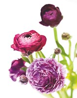 Spring Ranunculus VI Framed Print
