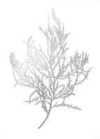 Silver Foil Algae III - Metallic Foil Fine Art Print